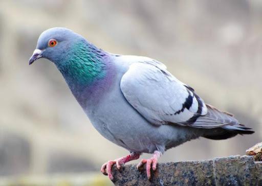 A e keni ditur pse pëllumbave iu vendosin unaza në këmbë?
